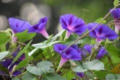 tła koloru kwiatu chwały ranek naturalny fiołek Obraz Stock