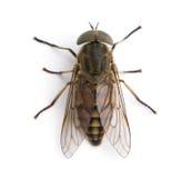tła komarnicy przodu gigantyczny koński biel Zdjęcie Royalty Free