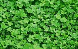 tła koniczyn zieleń Obrazy Royalty Free