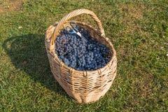 tła koszykowa winogron winorośl nad winnicą Zdjęcia Royalty Free