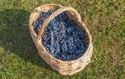 tła koszykowa winogron winorośl nad winnicą Obrazy Stock