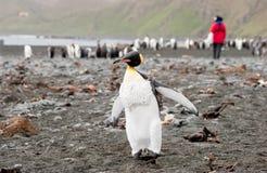 tła królewiątka pingwinu badacz Obraz Royalty Free