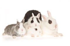 tła królicy hotot zestawy biały Zdjęcia Stock