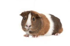 tła królik doświadczalny biel Obrazy Stock