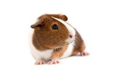 tła królik doświadczalny biel Zdjęcia Stock