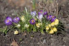 tła krokusów kwiaty odizolowywający puszkują wiosna kolor żółty tekstylnego biały Obrazy Royalty Free