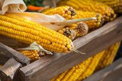 tła kukurydzany makro- fotografii kolor żółty Obraz Royalty Free