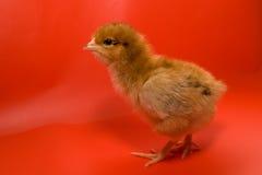 tła kurczaka czerwień zdjęcia stock