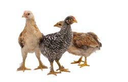 tła kurczaki odizolowywający przyglądający trwanie biel obraz stock