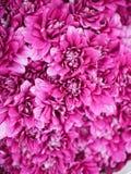 tła kwiatów różowy fiołek Fotografia Stock