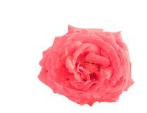 tła kwiat odizolowywający menchii róży biel Obraz Royalty Free