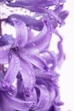 tła kwiatu hiacynt Obraz Stock