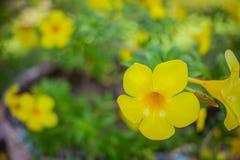 tła kwiatu odosobniony biały kolor żółty Fotografia Royalty Free