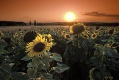 tła magiczny słoneczników światło słoneczne Fotografia Stock