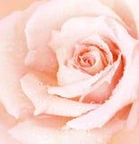 tła menchii róża mokra Fotografia Stock