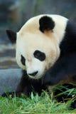 tła niedźwiadkowej kreskówki ilustracyjny pandy stylu biel Obrazy Stock