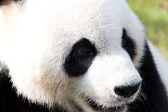 tła niedźwiadkowej kreskówki ilustracyjny pandy stylu biel Obrazy Royalty Free