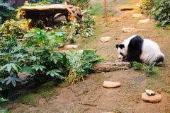 tła niedźwiadkowej kreskówki ilustracyjny pandy stylu biel Fotografia Royalty Free