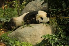 tła niedźwiadkowej kreskówki ilustracyjny pandy stylu biel Zdjęcia Royalty Free