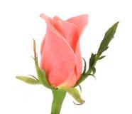 tła obrazu menchii różany akwareli biel Fotografia Stock