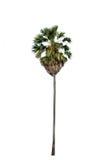 tła odosobniony drzewka palmowego biel zdjęcie royalty free