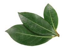 tła odosobniony laurowy liść biel Świezi zatoka liście Odgórny widok Obrazy Stock