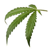 tła odosobniony liść marihuany biel Obrazy Royalty Free