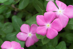 tła okwitnięcia kwiatu zieleni menchie Obraz Royalty Free