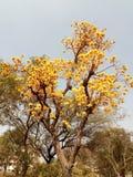 tła okwitnięcia ulistnienia pomarańczowy drzewo Obraz Stock