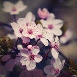 tła okwitnięcia ulistnienia pomarańczowy drzewo natury tło w słonecznym dniu wiosna kwiat Piękny sadu i abstrakta zamazany tło Po Zdjęcie Royalty Free