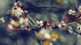 tła okwitnięcia ulistnienia pomarańczowy drzewo natury tło w słonecznym dniu wiosna kwiat Piękny sadu i abstrakta zamazany tło Po Zdjęcie Stock