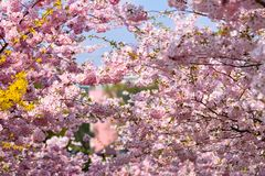 tła okwitnięcia ulistnienia pomarańczowy drzewo natury tło w słonecznym dniu wiosna kwiat Piękny sadu i abstrakta zamazany tło Po Obrazy Stock
