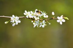 tła okwitnięcia ulistnienia pomarańczowy drzewo natury tło w słonecznym dniu wiosna kwiat Piękny sadu i abstrakta zamazany tło Po Obrazy Royalty Free