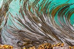 tła ostrzy byka kelp powierzchni tekstura obraz royalty free