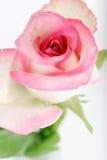 tła piękna kropel róży woda Obrazy Stock