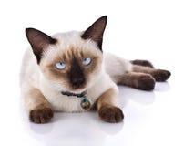 tła pięknego kota odosobniony biel Fotografia Royalty Free