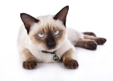 tła pięknego kota odosobniony biel Zdjęcia Stock