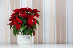 tła pięknej bożych narodzeń kwiatu poinseci czerwony biel Zdjęcia Royalty Free