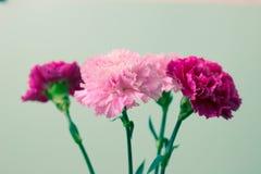 tła piękny bukieta karty goździków kwiatów ogród Fotografia Royalty Free