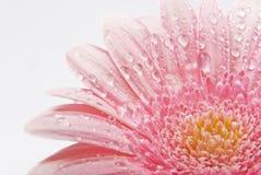 tła piękny kwiatu biel Obraz Royalty Free
