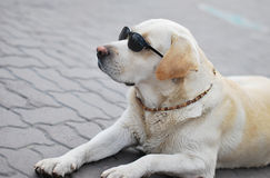 tła psi szary labradora szczeniaka tyły aporteru widok Fotografia Royalty Free