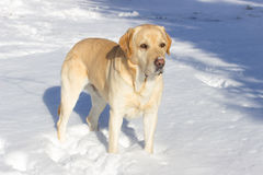 tła psi szary labradora szczeniaka tyły aporteru widok Obrazy Royalty Free