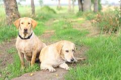 tła psi szary labradora szczeniaka tyły aporteru widok Obraz Stock