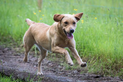 tła psi szary labradora szczeniaka tyły aporteru widok Zdjęcie Stock