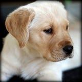 tła psi szary labradora szczeniaka tyły aporteru widok Zdjęcie Royalty Free