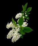 tła ptasi czarny wiśni kwiatonośny drzewo Zdjęcie Stock