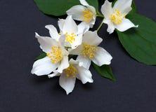 tła różnic kwiatów jaśminowy ładny sezonowy temat Obraz Stock