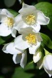 tła różnic kwiatów jaśminowy ładny sezonowy temat Obrazy Stock