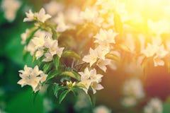 tła różnic kwiatów jaśminowy ładny sezonowy temat Zdjęcie Royalty Free