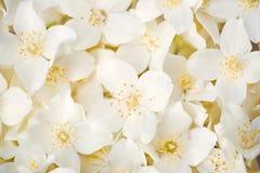 tła różnic kwiatów jaśminowy ładny sezonowy temat Zdjęcia Royalty Free